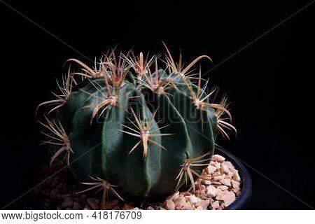 Close Up Ferocactus Wislizenii,fishhook Cactus Against Dark Background