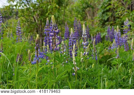 Violet Lupin Flowers On The Meadow In Overcast Day