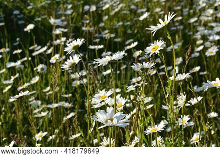 Blooming Daisies On The Meadow In Summer. White Flowers With Yellow Cores