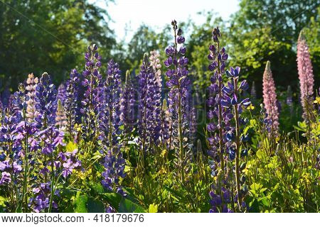 Meadow With Violet And Pink Flowers Of Lupinus In Sunny Summer Day.