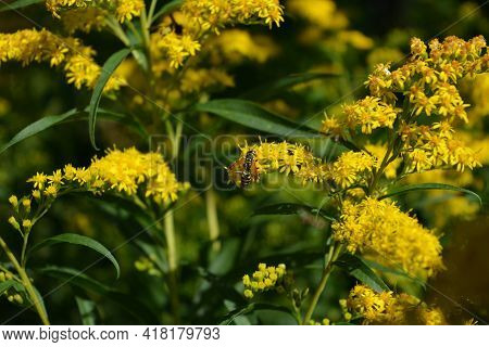 Yellow Goldenrod Flowers With Insects. Solidago. Summer