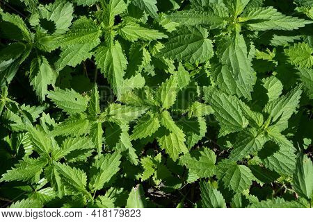 Top View On Green Nettle Growing In The Garden. Urtica Dioica.