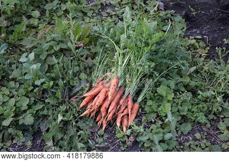 A Bunch Of Fresh Carrots With Greens On The Grass. Rural Garden