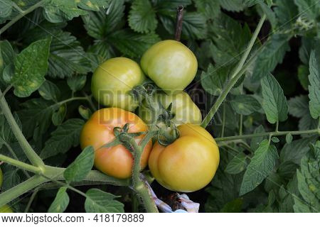 Tomatoes Grow And Ripe On The Vine Of Tomato Plant In The Rural Garden.