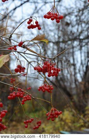 Ripe Red Berries On Viburnum Bush In Autumn Garden In Overcast Day.