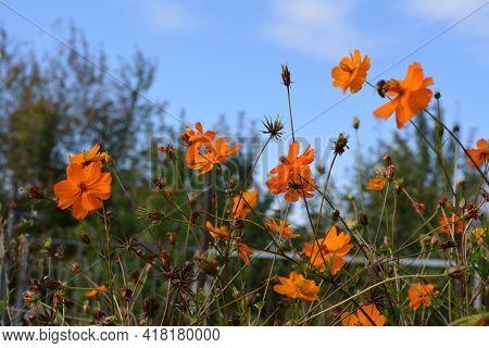 Beautiful Orange Cosmos Flowers. Bright Flowerbed In Summer Garden.