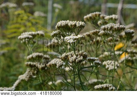 Yarrow Flowers And Buds In Summer. Wildflowers In The Garden.