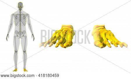 Human Skeleton Foot Bones Anatomy For Medical Concept