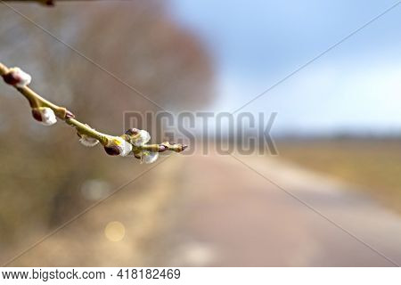 Close-up Of A Tree Branch With Opening Buds In Spring. A Blurred Road In The Background. Selective F