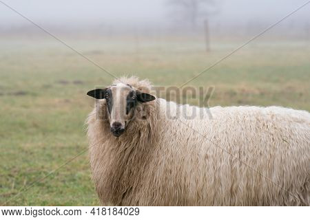 One Sheep In The Mist. The Sheep Looks Into The Camera, Detail Shot, Part Of Body. Sheep Stands In T