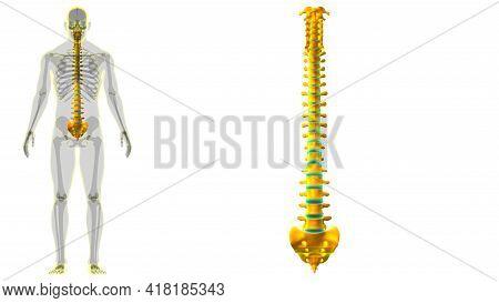 Human Skeleton Vertebral Column Vertebrae Anatomy