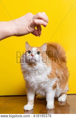 White-red Fluffy 10-year-old Cat Looks At The Treat In The Owner's Hand