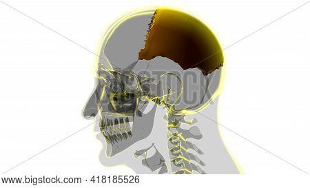 Human Skeleton Skull Parietal Bone Anatomy For Medical Concept