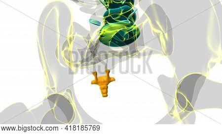 Human Skeleton Vertebral Column Coccyx Or Tail Bone Anatomy