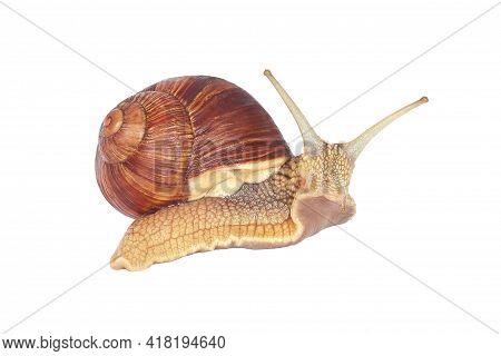 Grape Snail Isolated On A White Background. Helix Pomatia, Burgundy Snail, Roman Snail, Edible Snail