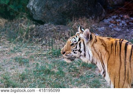 Tiger, Tiger Close-up, The Tiger In The Forest, Wild Animal Tiger