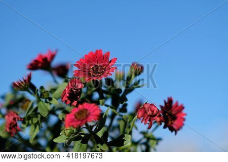 Close Up Of Beautiful Red Spring Flowers With A Blue Sky In The Background