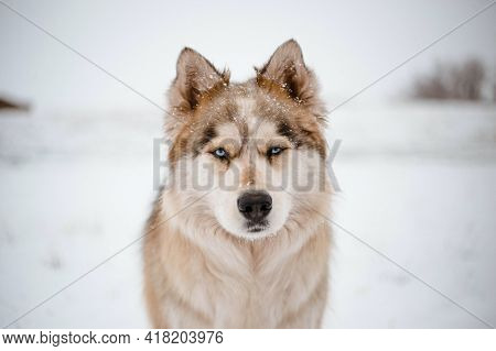 Portrait Of A Husky Siberian Husky Puppy Beautiful White And Black Dog Snow Animal Wolf New Picture