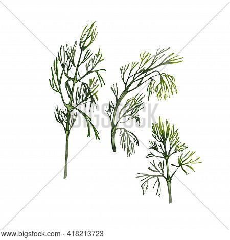 Dill Fresh Green Branches. Vector Color Vintage Hatching Illustration Isolated On A White Background