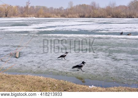2 Crows Are Walking On The Icy Lake. Birds In Winter. Chunks Of Ice Floating On River. Drifting In E
