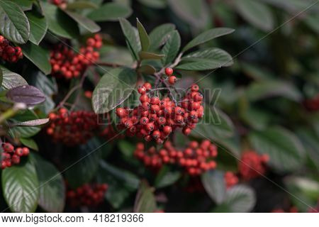 Bush With Lots Of Red Berries On Branches, Autumnal Background. Close-up Colorful Autumn Wild Bushes