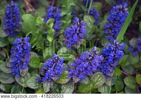 Violet-blue Flowers (ajuga Reptans) Collected In Spike-shaped Inflorescences With Oval Green Leaves
