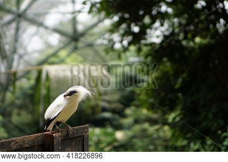 Bali Starling Is A Typical Bird From The Island Of Bali Which Is Rarely Found In Various Regions In