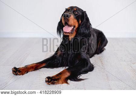Scottish setter dog resting on floor near white wall in light room