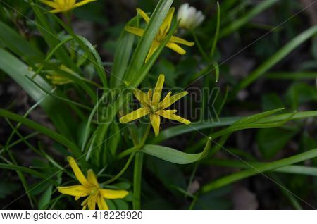 Small Flowers Of Gagea Lutea Or Goose Onions Close-up. Yellow Star-of-bethlehem Spring Blooming On S