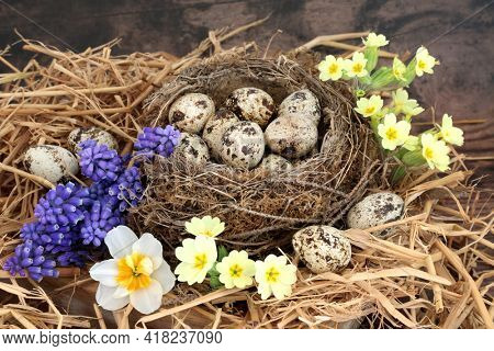 Spring quail eggs in a birds nest and loose with primrose, narcissus and grape hyacinth flowers. Healthy food concept. On rustic wood background.