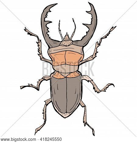 Insect Vector Illustration. Stag Beetle. Hand Drawn Illustration.