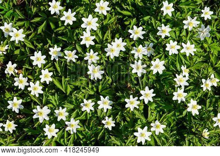 White Early Spring Flowers Of Wood Anemone Or Windflower In Green Foliage