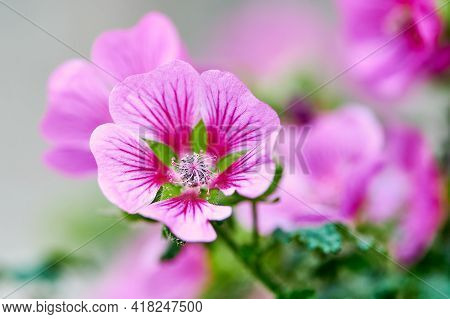 Macro Color Photo Of A Pink And Violet Mallow Flower
