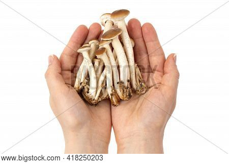 Mushrooms In Hands On A White Background. Honey Mushrooms In Hands Close-up.