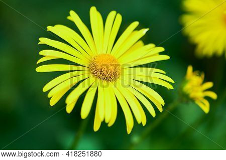Close Up Of A Yellow Marguerite Flower