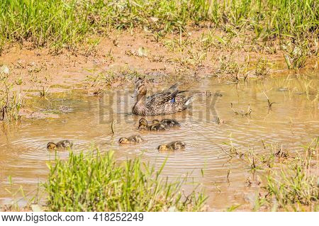 Mother Mallard Duck Swimming Along In The Shallow Muddy Water Making Sure Her Ducklings Are All Toge