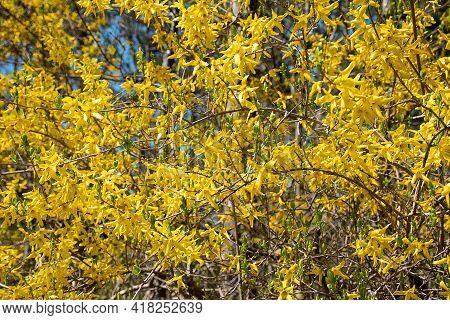 Bright Yellow Forsythia Bush In Springtime With Blue Sky