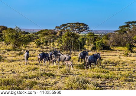 The flock of wildebeest. Kenya. Amboseli Park is reserve at the Kilimanjaro mountain. Savanna with rare bushes and desert acacies. The concept of ecological and photo tourism