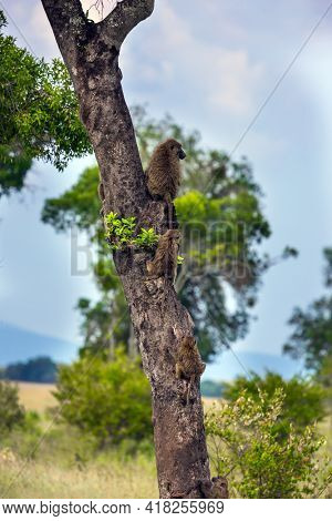 Gorgeous baboon sits on a tree. The trip to the African savannah. Safari in Masai Mara National Park, Kenya. Magnificent baboon. Ecological, active and phototourism concept