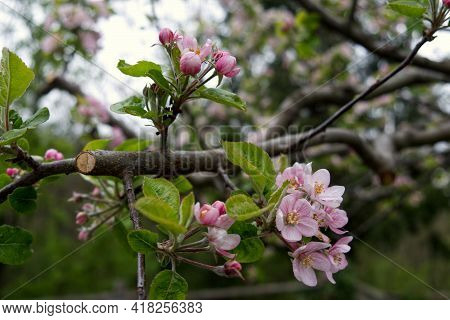 Macrophotography Of An Apple Tree In Spring Bloom. High Quality Photo