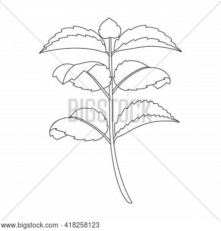Mint Leaf Vector Outline Icon. Vector Illustration Liaf Peppermint On White Background. Isolated Out