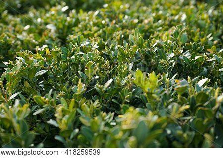 Japanese Boxwood Bush - Buxus Microphylla. Green Vibrant Boxwood Bush Texture, Close-up.