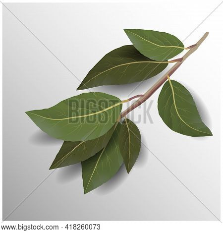 Beautiful Set With Bay Leaf On White Background. Natural Background. White Background.