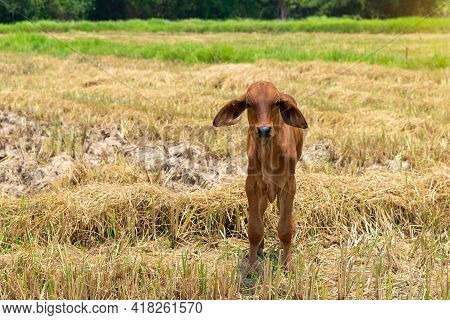 Cow, Calf Standing On The Rice Field, A Newly Born Native Calf Feeds On Rice Straw In Harvested Fiel