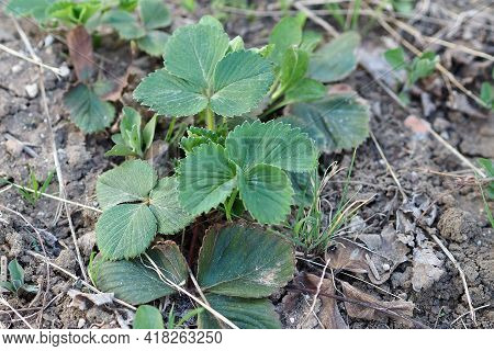 Strawberry Plants Germinating Slowly In The Spring Months,