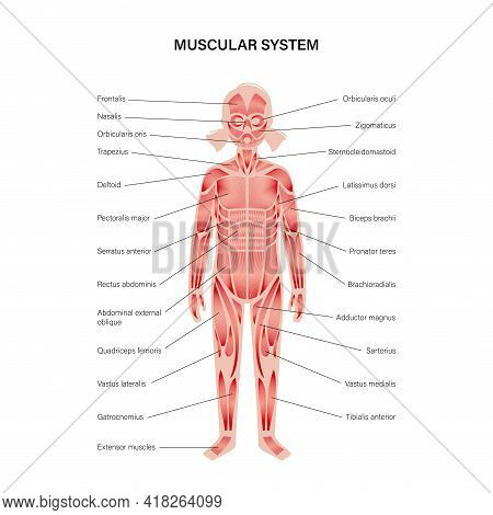 Human Child Muscular System Infographic Anatomical Poster. Structure Of Muscle Groups Of Kid In Fron
