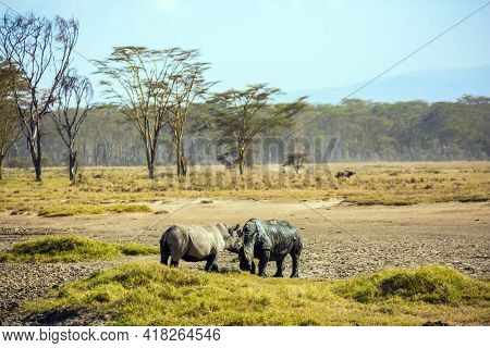 Picturesque pair of wild African rhinos goes to the lake to drink. African prairies on the shores of Lake Nakuru. The Horn of Africa. Great Rift Valley. The famous African Big Five