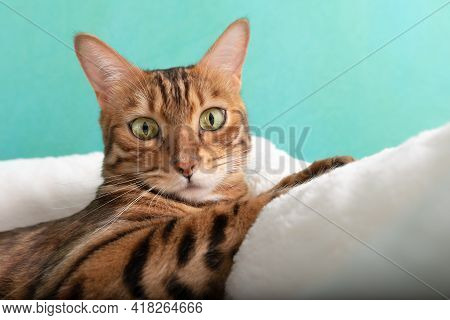 Bengal Domestic Cat Resting In A Cat Bed After Playing