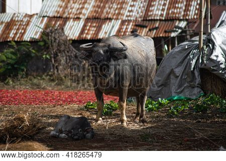 A Buffalo Standing By Its Child On An Organic Chili Farm Between Kalaw And Inle Lake, Shan State, My