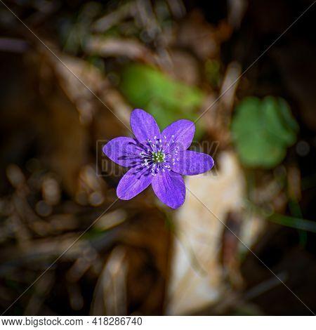 Blue Anemone In Bloom In Kumla Sweden